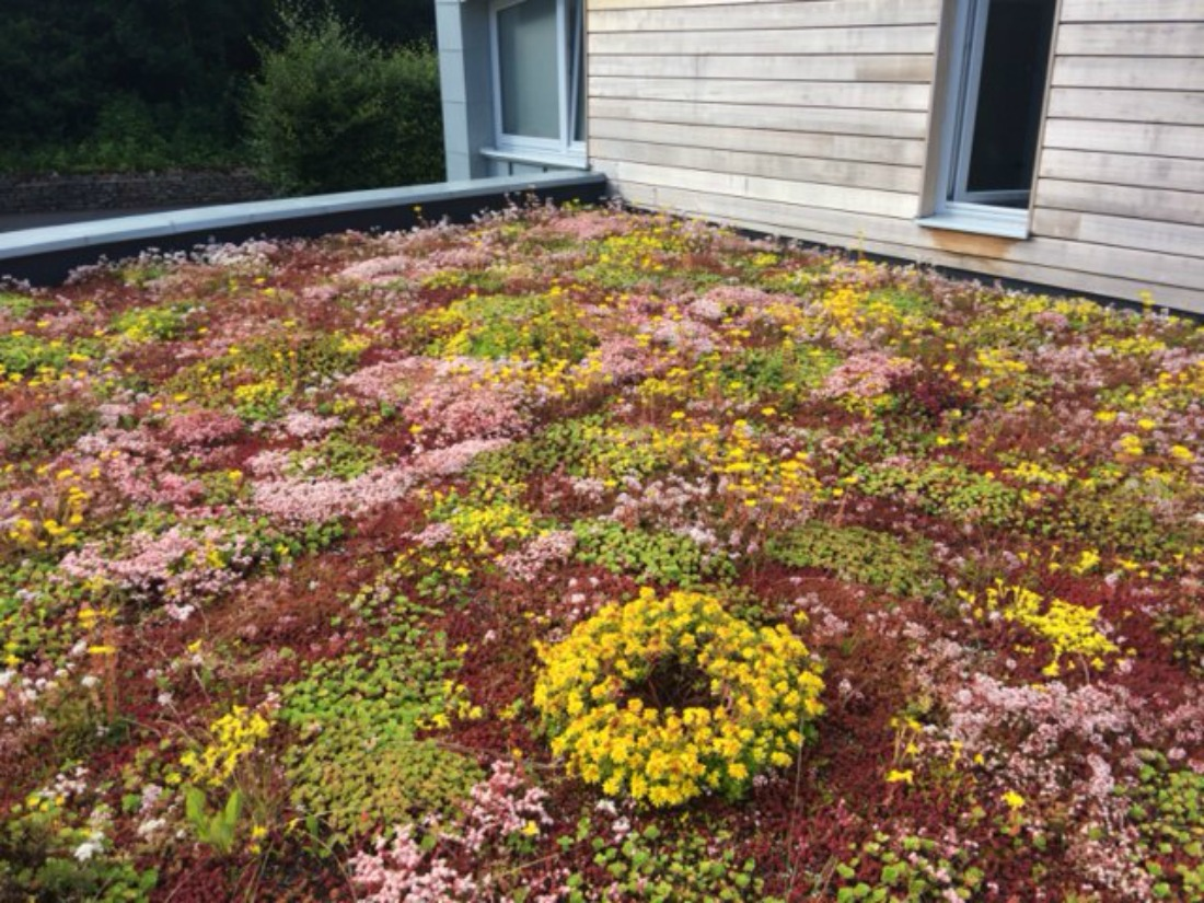 A Beautifully Developing Sedum Roof!