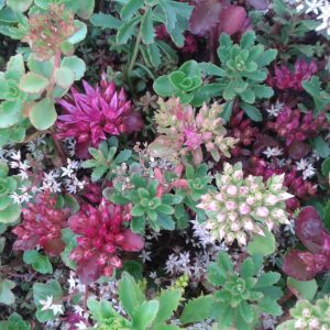 We Love Sedum!!